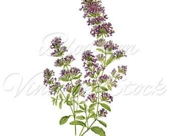 Antique FLOWER print, Purple Flowers, Antique Illustration, Botanical Art, antique botanical print of garden flowers - INSTANT DOWNLOAD 2366