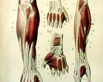 1852 Antique anatomy color lithograph print, muscles posterior forearm and hand  engraving, vintage muscular system tendons  human body.