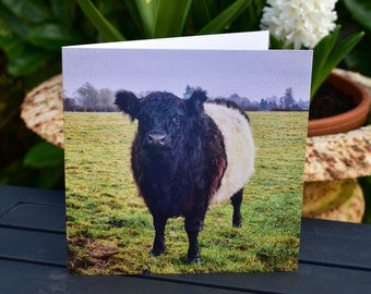 A Belted Galloway Cow. A friendly Cow in a field.