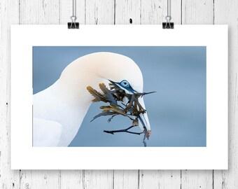Photo of a gannet taken on Helgoland, animal print, bird print, fine art photo print, unframed, multiple sizes