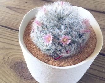 Mammilaira Powder Puff Cacti