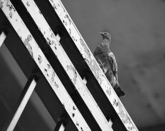 Pigeon on Railing - Black and White Photography