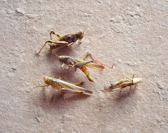 4 Real Insects Grasshoppers Bugs for Assemblage Crafts Art Projects