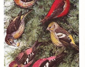 1917 Bird Print - Plate 77 - Crossbill - Vintage Antique Art Illustration by Louis Agassiz Fuertes 100 Years Old