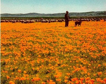 California Vintage Postcard - A Field of Golden Poppies in Bloom (Unused)