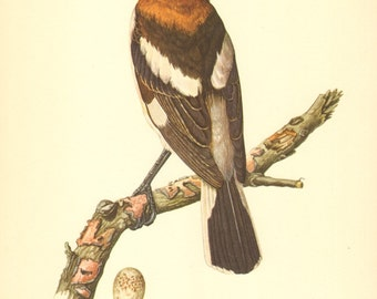 1953 Woodchat Shrike - Lanius senator Vintage Offset Lithograph