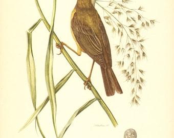 1953 Eurasian Reed Warbler - Acrocephalus scirpaceus Vintage Offset Lithograph