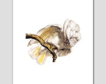 Cockatoo Art, Bird Print (White Home Decor Wall Hanging) -- 8x10 or 11x14 -- 19th Century Artist