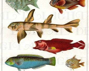 FISH Varities! Vintage Fish Illustration. Vintage DIGITAL Fish illustration Download. Digital Fish Print.