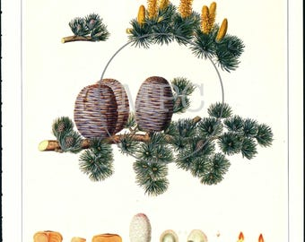 Botanical Illustration of Cedar of Lebanon