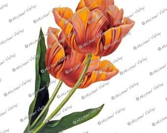 Dutch Tulip Vintage Botanical Drawing, Beautifully detailed PNG download transparent aka no background