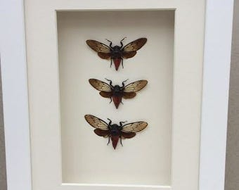 CICADAS  . Three real Cicadas framed in a white shadow box