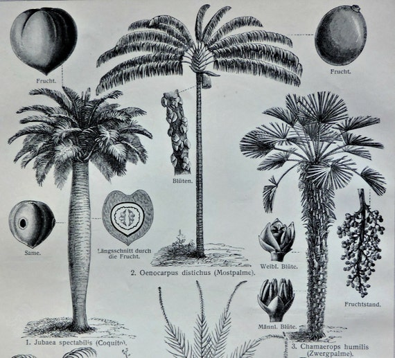 Palms. Botany print. Old book plate, 1904. Antique illustration. 112 years lithograph. 6x9'2 inches.