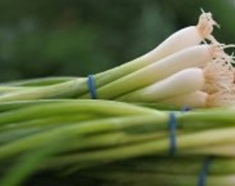 Onion Seeds- Scallions- White Bunching Southport- 100+ Seeds