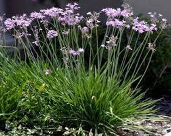 Society Garlic Seeds, Tulbaghia Violacea, Herb, African Plant, Culinary Herb, Lily Family, Tropical