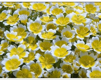 Limnanthes Douglasii - 50 Seeds - Poached Egg Plant