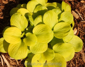Hosta, Sun Mouse for Miniature Garden, Fairy Garden