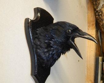 Taxidermy crow head on shield , best seller