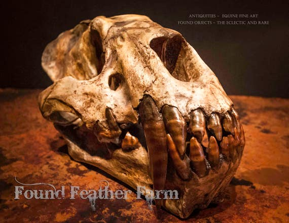 Fabulous Saber-Tooth Cat Skull Fossil Replica