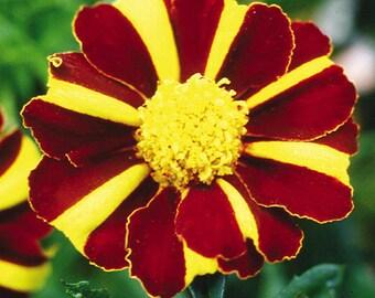 Flowers Seeds Marigolds Hawaii from Ukraine#997