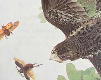 1966 COMMON NIGHTHAWK Original Vintage Audubon Print, Matted and Ready to Frame 14 x 11 inches, Bird Decor, Vintage Decor, Ornithology