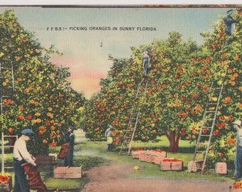 Linen Postcard, Picking Oranges in Sunny Florida, Vintage Postcard, Ephemera