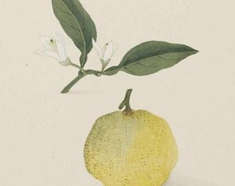 Yuzu Essential Oil - Citrus medicus junos- 100% Pure