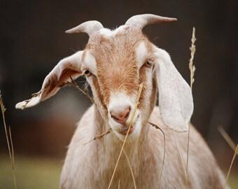 Hungry Goat Farmhouse Decor Fine Art Rustic Wall Art  Farm Photography Country Photography Goat Art