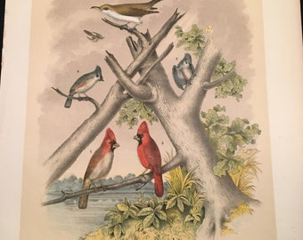 1881 Birds of North America Print - Cardinal and Cuckoo, Plate XXVIII, Color Lithograph by Jasper