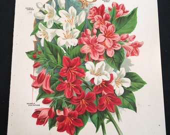 Antique Botanical Print - Weidela and Althea Varieties, Original Color Lithograph, 19th Century Print for Framing
