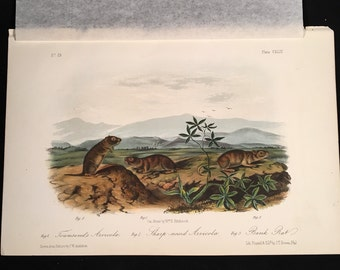 Arvicolas by Audubon, Original 1854 Hand-Colored Print, Quadrupeds of North America