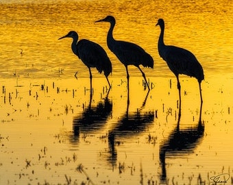 Sandhill Cranes, Sunset Reflections, Birds, Bosque del Apache, New Mexico, Nature Photo, SynVisPhotos, Canvas Wrap, Steve Traudt, Home Decor