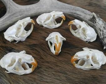 Muskrat Skull, Taxidermy, Vulture Culture, Oddities, Curiosities, Rustic Cabin Decor, Animal bones, Real Animal Skull, Skeleton Goth Decor