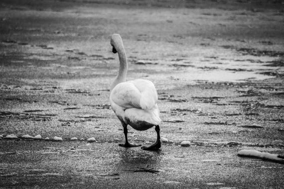 Swan Photography - No One wants to Play!, Swan, Wildlife Photography, Swan Prints, Swan Photo, swan art, swan decor, pond photography