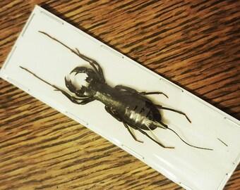 Large jaw arachnid (Unmounted) taxidermy bug entomology curiosity oddity