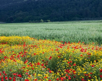 Red poppies Salento, photography, landscape, countryside, flowers, poppies, yellow, green, red, nature, photos