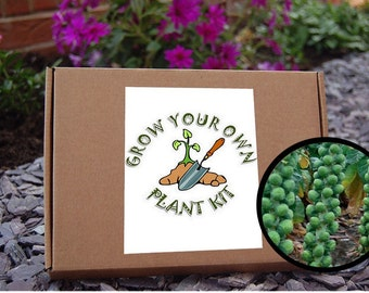 Grow Your Own Brussel Sprouts