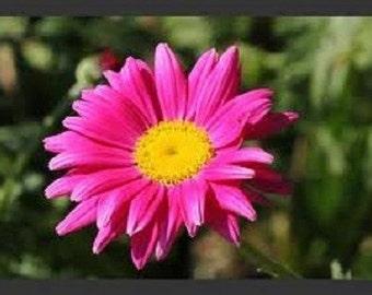 50+ ROSE CHRYSANTHEMUM COCCINEUM / Deer Resistant / Perennial Flower Seeds
