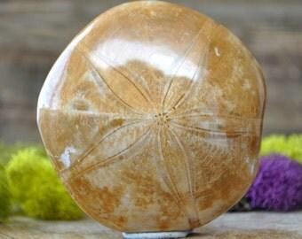 Sand Dollar Star Fish Fossil - 1096.60
