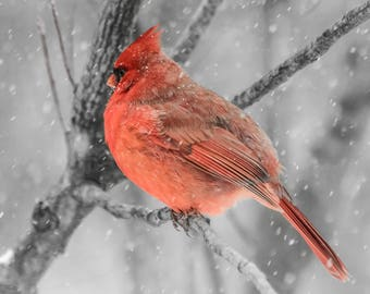 Northern cardinal - Print on Glossy Paper