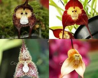 Monkey face seeds