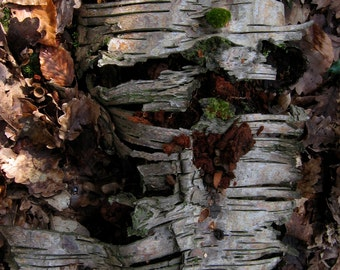 Tree Wall Art, Tree Bark - Fine Art Photography