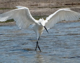 Taking a Bow - Snowy Egret