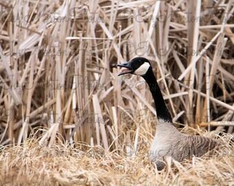 Canada Goose honking (8 x 10 photo)