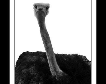 Osctrich Animal Nursery Print, Nursery Decor, Animal Print, Baby Animal Print,  Zoo Animal Print, Digital Print, Printable