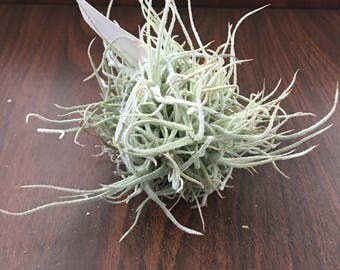 Hiroglyphica Clump Air Plant
