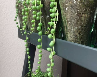 Live string of pearls cuttings