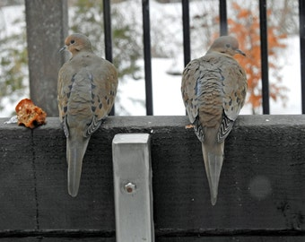 Fussy Doves won't Eat