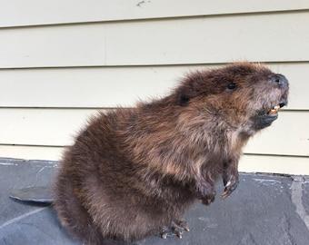 Standing Beaver Full Body Taxidermy Mount