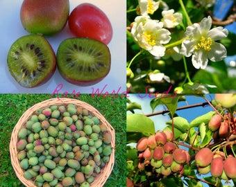 MINI Hardy kiwi Fruit kiwiberry 'Karawaja' Grape-sized and VERY HARDY! Seeds.